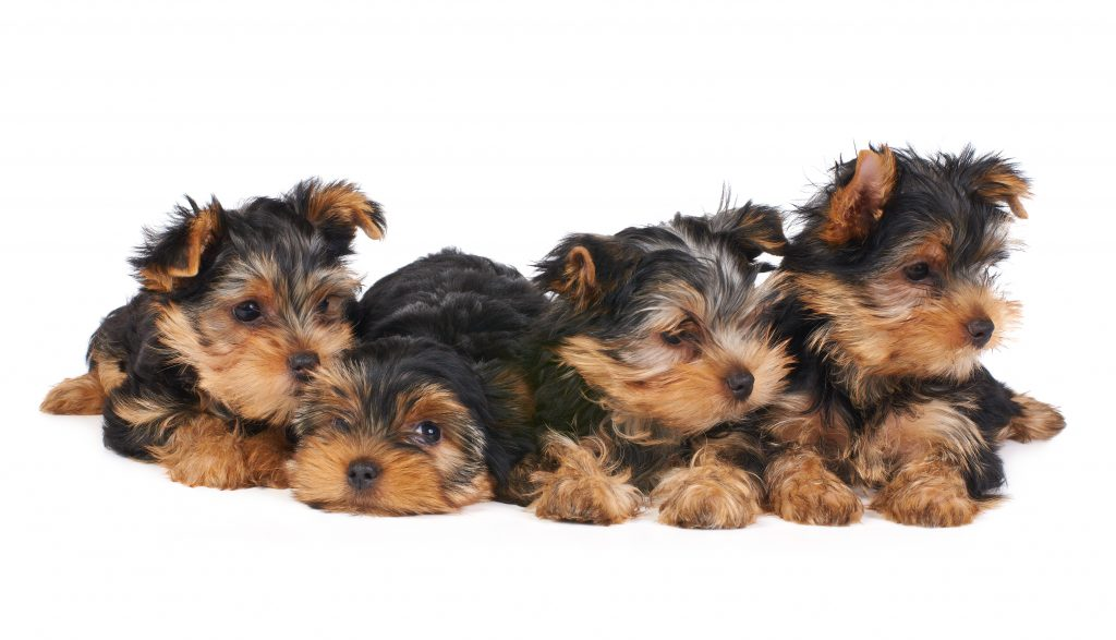 adopt a yorkie