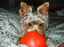 Bella - Yorkshire Terriers