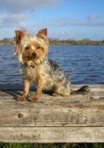 Buffy - Yorkshire Terriers