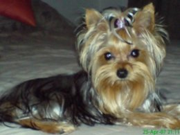 Pictures of Yorkshire Terriers - Topaz
