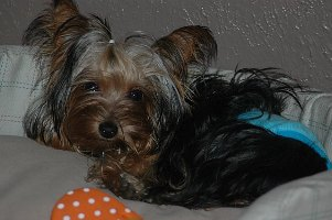 Vince - Yorkshire Terriers