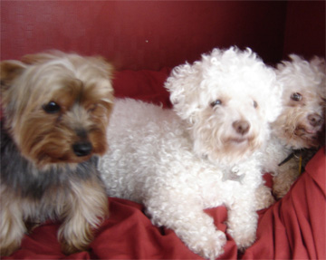 Barney with the two old bichons