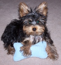 Yorkshire Terrier Picture Check Them Out