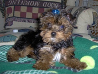 Dolce - Yorkshire Terriers