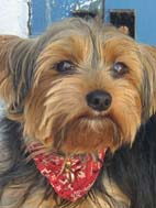 Yorkie Gallery – which is your favorite yorkshire terrier picture?