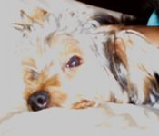 Kimo - Yorkshire Terriers