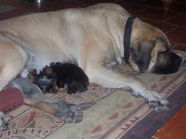 Minor - Yorkshire Terriers