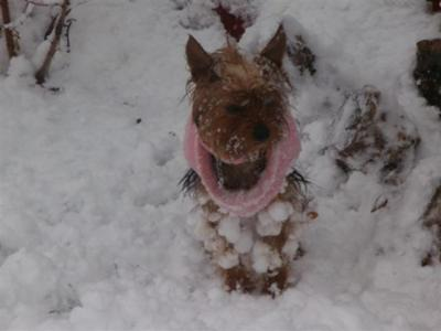 My Yorkie Princess Yokos First Snow
