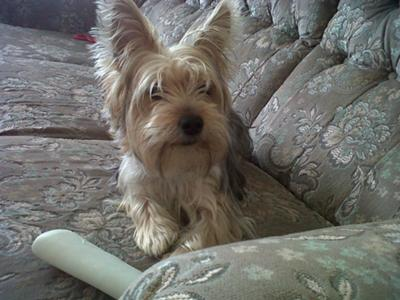 my yorkie sookie