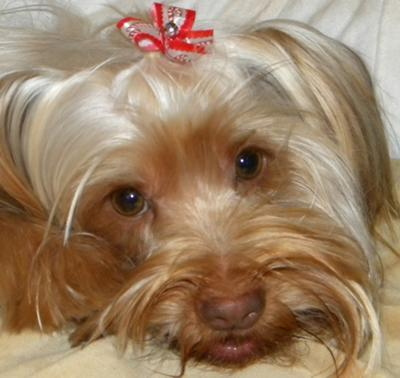 our yorkie sweetpea