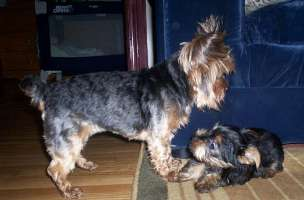 Gizmo and Riley - Yorkshire Terriers