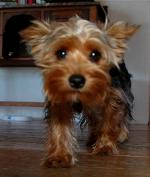 Sofia - Yorkshire Terriers