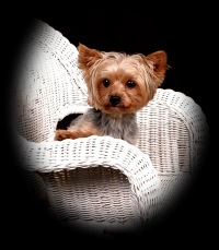 Toffey Hall - Yorkshire Terriers