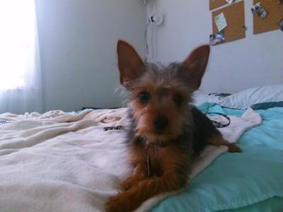Yorkie Chihuahua Mix Logan