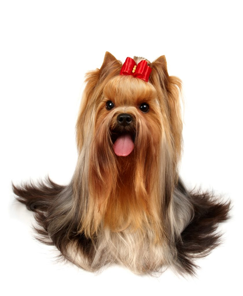 Types of Yorkie Hair Cuts