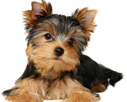 Information On Yorkshire Terriers